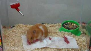 Mama Hammie Using Mouth To Transport Babies.