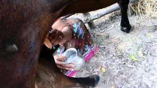 Hand milking - cow girl 2 - Jelari