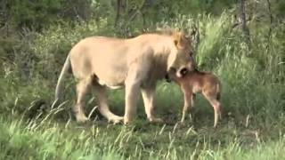 Animal Attack lions attack baby cow of another lion Top ten10@attack to attack
