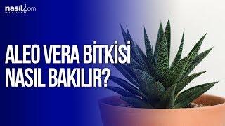 Aloe Vera Bitkisi nasıl bakılır?   Nasil.com