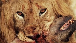 Lions vs Hyenas ● Fight To Death ● National Geographic Documentary 2015