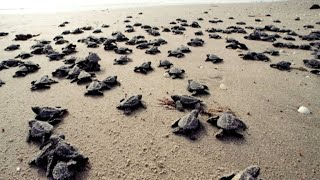 Study: Warmer temperatures turning green sea turtles female