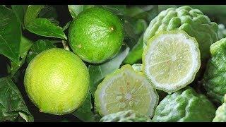 บอกต่อกันไป..วิธีรักษาเบาหวาน(treat diabetes)ด้วย สูตรมะกรูด(Bergamot) 1 ผล + มะนาว(lemon) 2 ผล