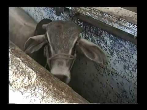 Tanto peca el que mata la vaca como el que le agarra la pata.