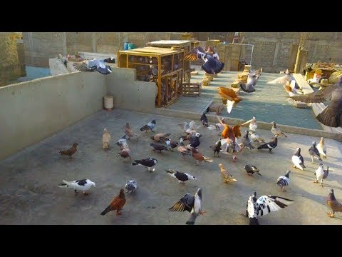 Xxx Mp4 746 Kabootar Hi Kabootar Video For Pigeon Birds Lovers Lalukhet Qasimabad Karachi 3gp Sex