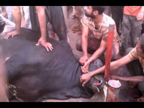 Cow qurbani at saima towers buferzone karachi 2014