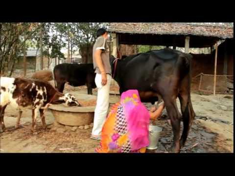 My Friend Garima Yadav Milking cow