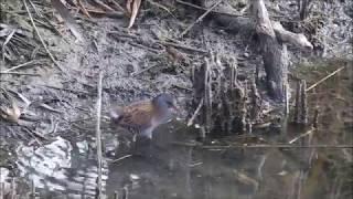 Porciglione (Rallus Aquaticus) Water Rail