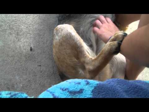 Dog kicks leg when scratched