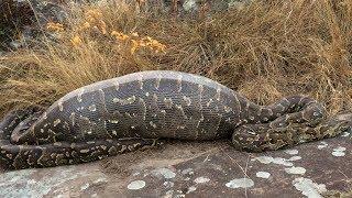 Man Removed From Inside Huge Python