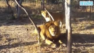 Erkek aslanın aklını aldı