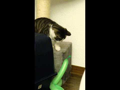 Mailo: Cat vs balloon, very funny!!
