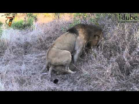 Sex In The Wild: Male Lion Takes His Mate #youtubeZA