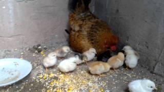Pollitos recien nacidos.
