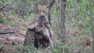 Fight to the death...Leopard vs Warthog