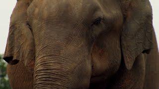 Elephant Mourning    BBC Earth