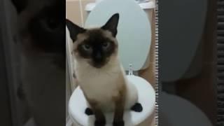 siyam kedisinin tuvalet eğitimi