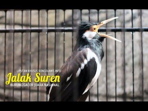 SUARA BURUNG - Jalak Suren Gacor Ngamuk Juara Nasional