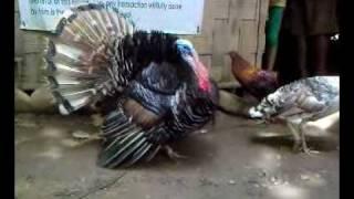 Turkey Or Pabo ni Estong