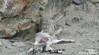 Snow leopard hunting Markhor in Gilgit Baltistan Very Rare Video