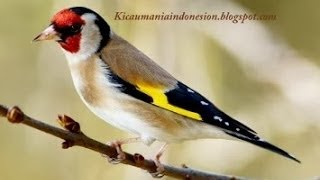 Burung Master : Super Goldfinch (cardhonneret) Download Mp3 Mp4 3GP HD Video