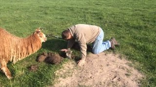 Watch Farmer Rescue 1-Week-Old Alpaca Stuck In Badger Hole As Mom Paces