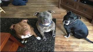 ام تركت رضيعة عمرها اسابيع بمفردها مع 3 كلاب بيتبول فوقعت كارثة