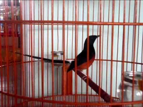 White Rumped Shama FEARLESS 1st 10 Casual Songs