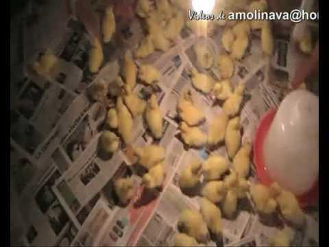 Crianza de Patos GRANJA KAYRA ZOOTECNIA CUSCO UNSAAC