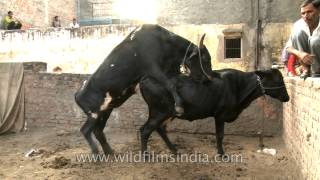 Veterinary video: Cows mating
