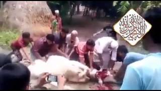 Cow killed