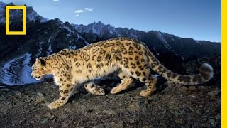 Searching for the Snow Leopard | National Geographic