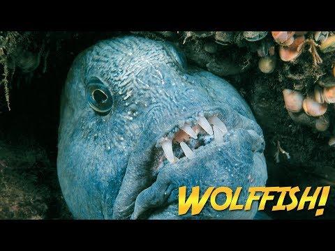 Xxx Mp4 Wolffish Wolf Eels JONATHAN BIRD S BLUE WORLD 3gp Sex