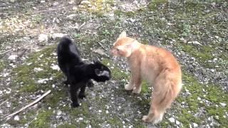 Perang kucing