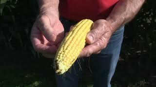 Corn School -  Maturity