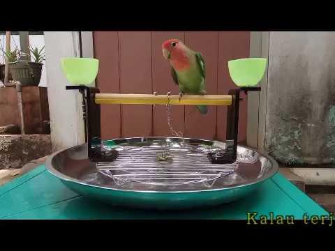 Rantai kaki Love bird ,Perch, tangkringan multi fungsi Parrot tame