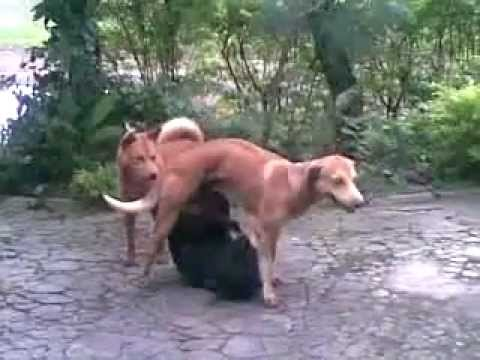 anjing kawin.3gp