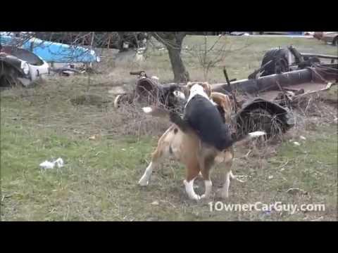 Xxx Mp4 Funny Dog Breeding Video Cute Playing Beagle Puppies LOL 3gp Sex