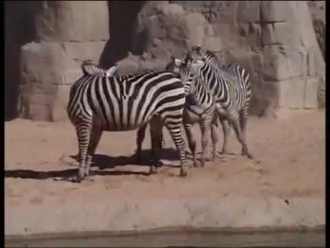 Cebras - comportamiento sexual y rituales de apareamiento