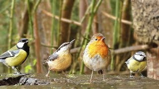 Video for Cats - Rainy Day Birds
