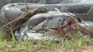অজগর সাপ আস্ত একটা ছাগল গিলে ফেলল The snake snake swallows a goat