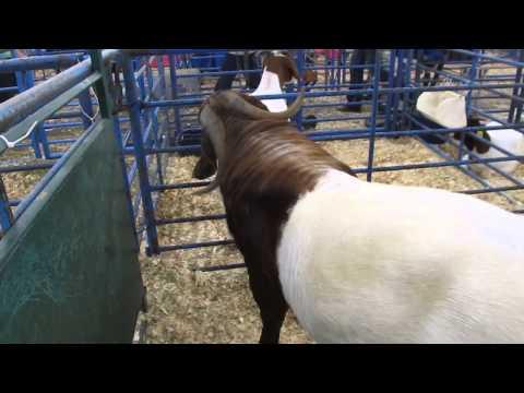 Boer goats South African origin