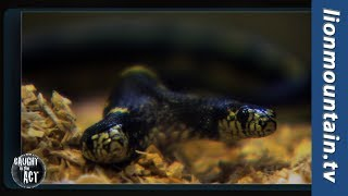 Two Headed Snake | Caught in the Act