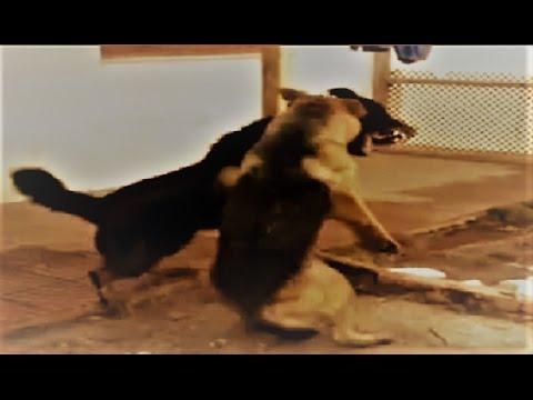 Rottweiler German Shepherd & Pitbull fight over dominance