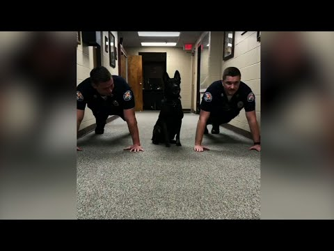 Xxx Mp4 AL Police Dog Likes To Do Pushups With Officers 3gp Sex