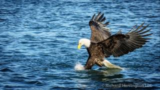 bald eagle modified by YOU WU