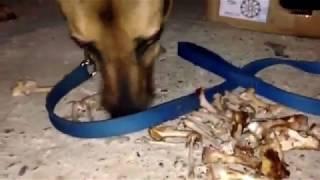 Cukulat- Sunny- ac bir kopek - one hungry dog