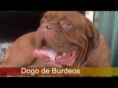 Bullmastiff vs Dogo de Burdeos ¿Quien Gana?