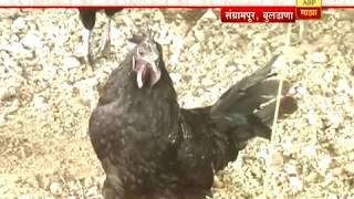 7/12 च्या बातम्या : बुलडाणा : कडकनाथ कोंबड्यांचं कुक्कुटपालन अभयसिंह मरोडेंसाठी फायदेशीर