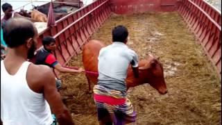 গরু তো নয় যেন হাতির বাচ্চা- Qrbanir Goru 2016